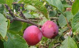 The Denbigh Plum